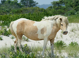 Chincoteague de robe pie sur l'île d'Assateague