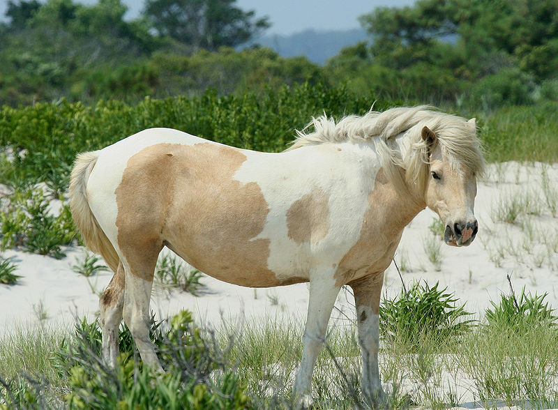 File:Wild Pony at Assateague.jpg