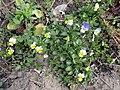 Wild pansies 06.jpg