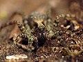 Wolf Spider (48377389001).jpg