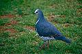 Wonga Pigeon (Leucosarcia melanoleuca) (10020933573).jpg