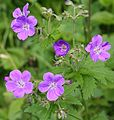 Wood Crane's Bill (Geranium sylvaticum) - geograph.org.uk - 1395362.jpg