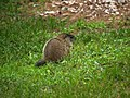 Woodchuck offspring in our yard (5825856051).jpg