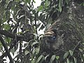 Wreathed Hornbill about the emerge from the nest cavity 01.jpg