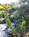 Ww Table Mountain Aloe - Fishhoek CT.JPG
