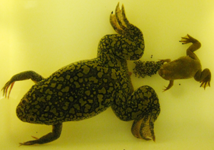 Xenopus - A Xenopus laevis female with a batch of freshly laid eggs and a Xenopus tropicalis male