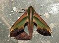 Yam Hawkmoth Pergesa acteus by Dr. Raju Kasambe DSCN0579 (1).jpg