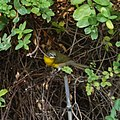 Yellow-breasted chat (36637450680).jpg