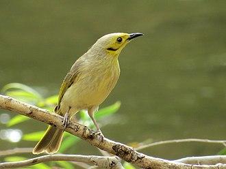 Yellow-tinted honeyeater - Image: Yellow tinted honeyeater 8182