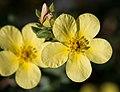 Yellow Flowers, Cloud Bay - Flickr - Sharon Mollerus.jpg