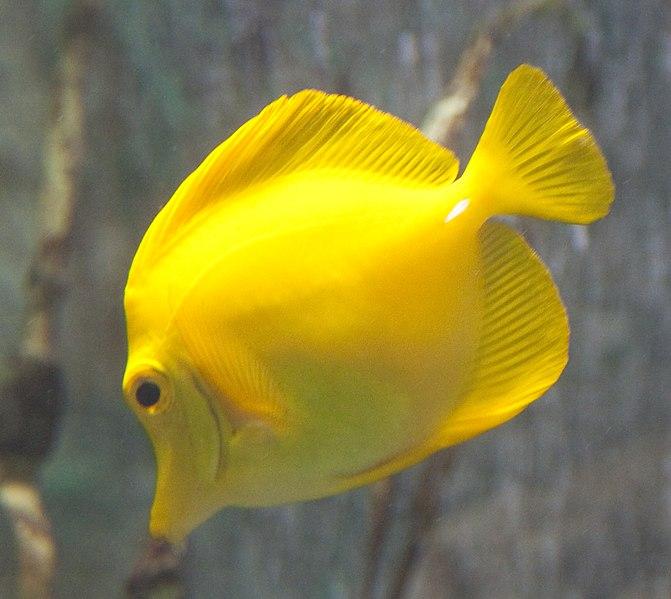 Yellow tang animal and the partner for Yellow tang fish