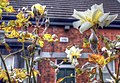 Yellow roses (8109681810).jpg