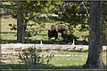 Yellowstone Grizzly (3632111133).jpg