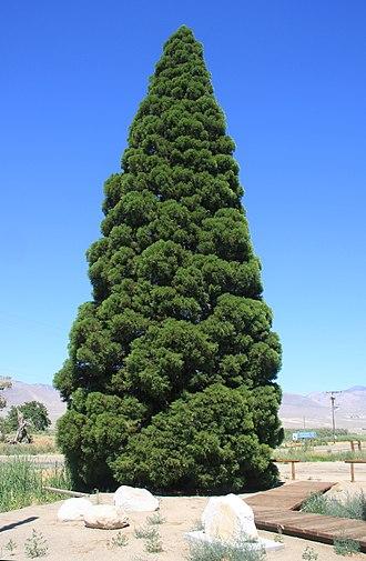 "Big Pine, California -  Big Pine's ""big pine"""