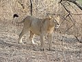 Young male lion in Gir 10 Jan 2014 DSCN0031.jpg