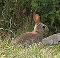 Young wild rabbit.JPG
