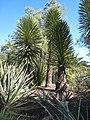 Yucca decipiens JOT 2.jpg