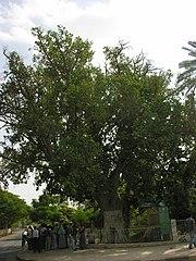 Zacchaeus-sycamore