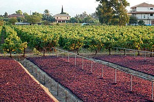Zante currant drying in Tsilivi