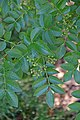 Zanthoxylum americanum in Jardin botanique de la Charme 02.jpg