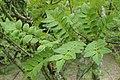 Zanthoxylum piperitum kz01.jpg