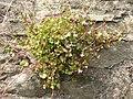 Zimbelkraut (Cymbalaria muralis).jpg