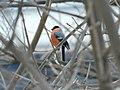 Zimovka, mužjak (Pyrrhula pyrrhula) Eurasian Bullfinch, male.jpg