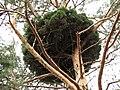 Zmiany niepasozytnicze pinus sylvestris beentree.jpg