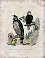 Zoological Society of London; A harpy eagle and a white-head Wellcome V0023126.jpg