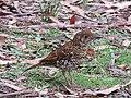 Zoothera lunulata (41533386355).jpg