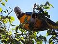 """arara-canindé"" - Ara ararauna - se alimentando de frutos e sementes de jatobá - Hymenaea courbaril 14.jpg"