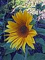 'Apricot Daisy' sunflower IMG-0320.jpg