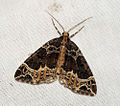 (1759) Small Phoenix (Ecliptopera silaceata) (5696094321).jpg