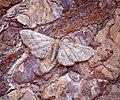 (1812) Maple Pug (Eupithecia inturbata) (35827012431).jpg