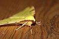 (1906) Brimstone Moth (Opisthograptis luteolata) (3437521935).jpg