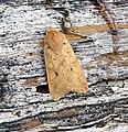(2264) Yellow-line Quaker (Agrochola macilenta) (21402725613).jpg