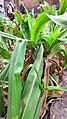(Crinum latifolium).jpg