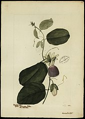 (Passiflora laurifolia, Linn)