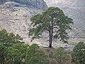 Árbol de Casandra IM2 8120.jpg