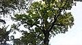 Віковий дуб.З.п. «Рубежівський» 03.jpg