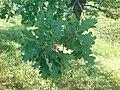 Дубовые листья по дороге к пруду Алшихово.JPG