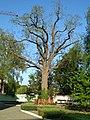Дуб черешчатий, віком понад 300 років. Пам'ятка природи ботанічна.jpg