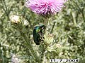 Жук. Beetle - panoramio.jpg