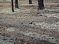 Муравленко 25.08.2012 (белка собирает грибы) - panoramio.jpg