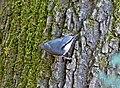 Обыкновенный поползень - Sitta europaea - Eurasian nuthatch - Горска зидарка - Kleiber (36287439353).jpg