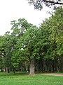 Парк Дубки. Аллея из вековых дубов. - panoramio.jpg