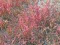Салероса європейська, яка росте на солончаках заплава р.Берда.jpg