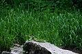 Скелі Довбуша Самець плиски гірської DSC 0555.jpg