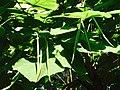 Стручки и листья дерева катальпа.jpg