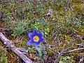 Цветок мая - panoramio.jpg